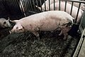 Injured pig.jpg