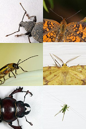 Insect - Evolution has produced enormous variety in insects. Pictured are some of the possible shapes of antennae.