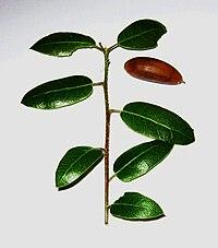 Interior live oak twig with acorn