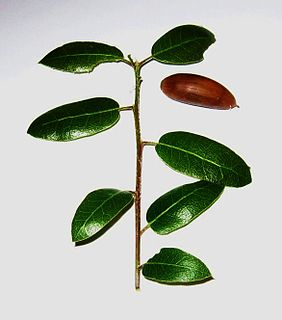 <i>Quercus wislizeni</i> species of plant