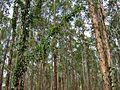 Ipomoea syringifolia Meisn. (1361439076).jpg