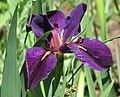 Iris 'Black Gamecock' Flower 2175px.jpg