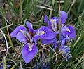 Iris latifolia - Jardin des Plantes.jpg