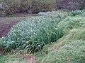 Iris pseudacorus L. (AM AK293446-1).jpg