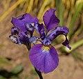 Iris sibirica cultivar 'Dancing Nanou' (1992-0027*F).JPG