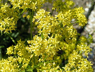 Isatis tinctoria - Woad flowers