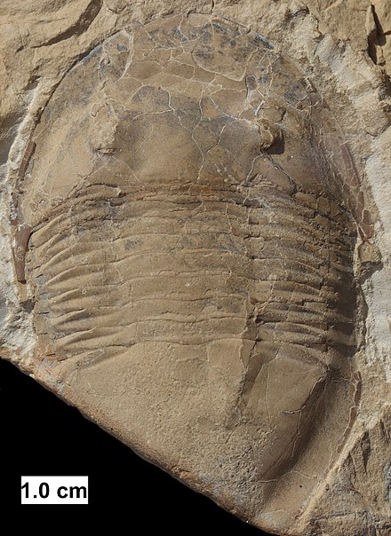 The trilobite Isotelus from Wisconsin. Isotelus trilobite from Wisconsin.jpg