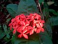 Ixora red flower.jpg