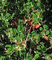 J20151104-0001—Arctostaphylos uva-ursi—RPBG (22190967654).jpg