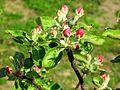 Jabłoń 4.jpg