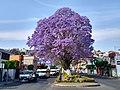 Jacaranda en Avenida Sánchez Piedras de la Ciudad de Tlaxcala 02.jpg