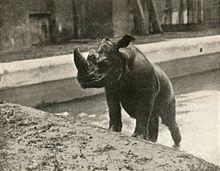 Photographie en noir et blanc d'un Rhinocéros vu de trois-quarts profil en train de gravir un talus dans le parc d'un zoo.