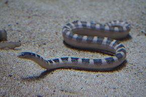 Description de l'image Japan sea snake, Ornate Sea Snake (Hydrophis ornatus) (15167155673).jpg.