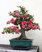 Indoor bonsai - Wikipedia