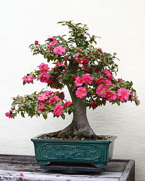 Camellia japonica - A bonsai specimen of C. japonica