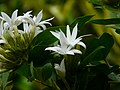 Jasmine sp. (3128006703).jpg