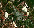 Jasminum nobile.jpg
