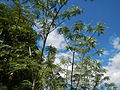 JfSesbaniagrandiflora189Palinglangfvf.JPG