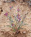 Joshua Tree National Park flowers - Astragalus lentiginosus - 2.jpg