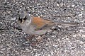 Junco phaeonotus MtLemmon.jpg
