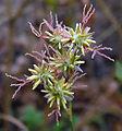 Juncusmacrophyllus.jpg