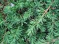 Juniperus conferta.JPG