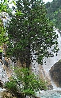 <i>Juniperus saltuaria</i> species of plant