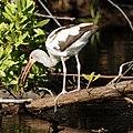 Juvenile White Ibis (4233168371).jpg