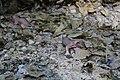 Juvenile sciurus carolinensis 1.jpg