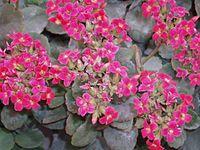Kalanchoe blossfeldiorum2
