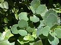 Kalanchoe laxiflora-003.JPG