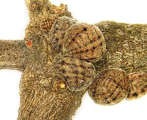 Kermes (insect) - Kermes echinatus