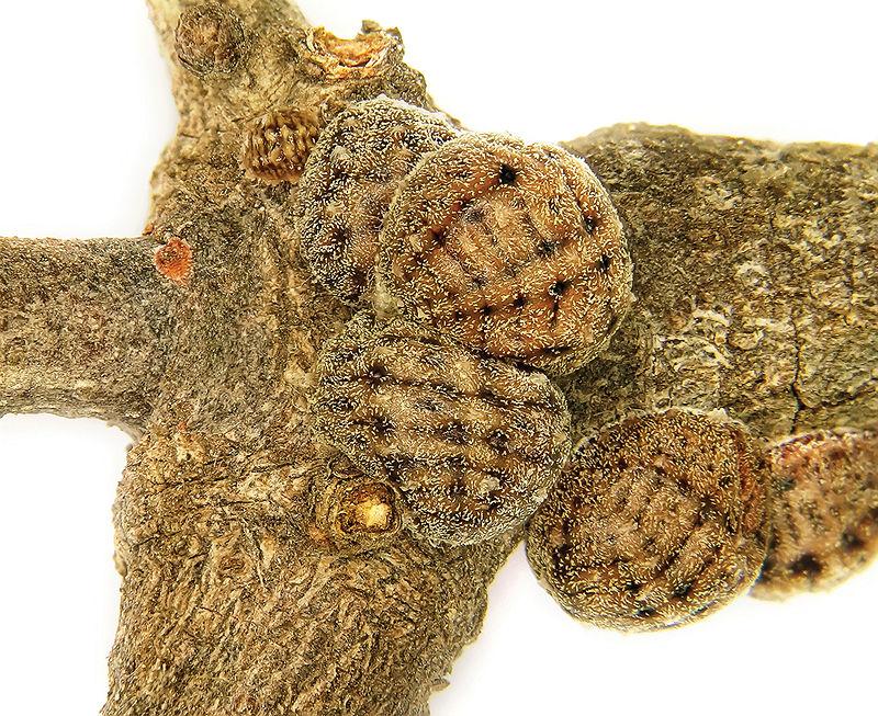 Kermes echinatus Balachowsky mature reproductive females - ZooKeys-246-011-g002.jpeg