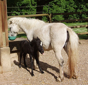 Black (horse) - This black Shetland Pony foal was born very dark and will likely gray like its mother