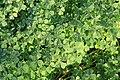 Kluse - Oxalis tuberosa 16 ies.jpg