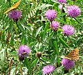 Knapweed - insects love it - geograph.org.uk - 923181.jpg