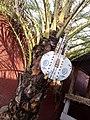 Kora, instrument de musique en pays Mandingue( (appelé Griots) et utilisé aussi par les chasseurs traditionnel appelés Dozo (de face).jpg