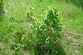 Korina 2018-04-23 Syringa vulgaris.jpg