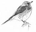 Kramsvogel Turdus pilaris Jos Zwarts 2.tif