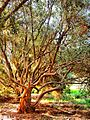 L'arbre d'olive - panoramio.jpg
