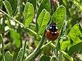 Ladybug on Sibillini Mountains 05.jpg