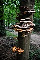 Laetiporus sulphureus (Chicken of the Woods or Sulphur shelf, D= Schwefelporling, F= Polypore soufré, NL= Zwavelzwam) white spores and causes brown rot, when coming home at 13 September 2015. Rather ugly - panoramio.jpg