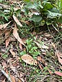 Lagenophora stipitata habit.jpg