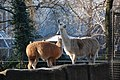 Lama glama in Artis (2130122269).jpg