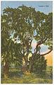 Lanier's oak (8368123324).jpg