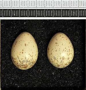 Brown shrike - Eggs, Collection Museum Wiesbaden
