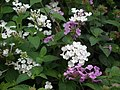Lantana from Lalbagh flower show Aug 2013 8044.JPG
