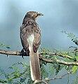 Large Grey Babbler (Turdoides malcolmi) at Hodal Iws IMG 1034.jpg
