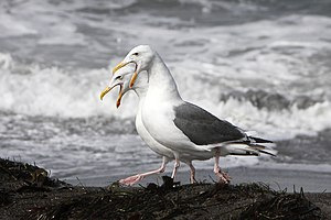 Western gull - Pair-bonding behaviour