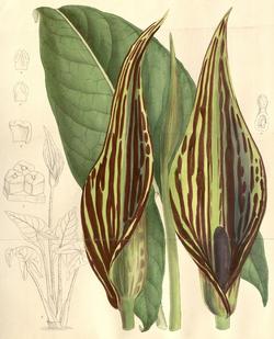 Lasimorpha senegalensis